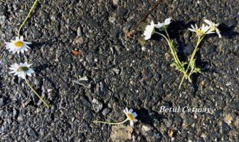 Çınaraltı Öyküleri – Asfalttaki Papatyalar - 10