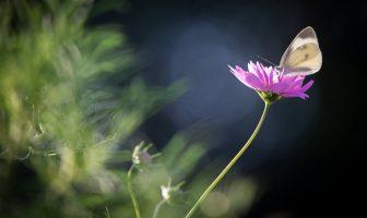 Kır Çiçeğinin Rüyası; Kelebeğin Dünyası